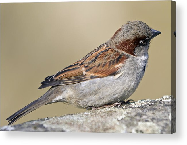 Outdoors Acrylic Print featuring the photograph Sparrow by Melanie Viola