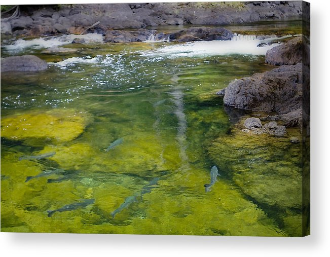 Salmon Acrylic Print featuring the photograph Spawning Salmon by Naman Imagery