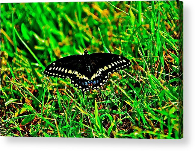 Spicebush Swallow Tail Acrylic Print featuring the photograph Spicebush Swallow Tail by American Image Bednar
