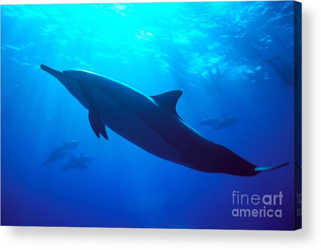 Adult Acrylic Print featuring the photograph Spinner Dolphin by Dave Fleetham - Printscapes