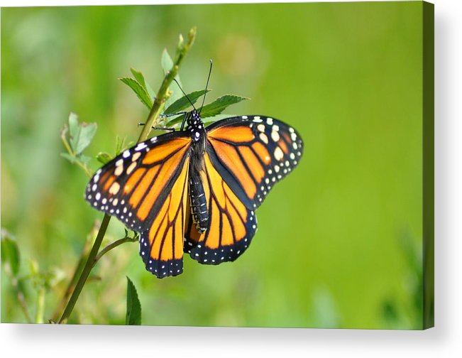 Butterfly Acrylic Print featuring the photograph Spread Your Wings by Bill Cannon