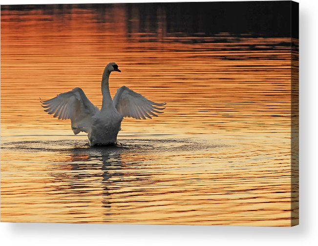 Swans At Dawn Acrylic Print featuring the photograph Spreading Her Wings In Gold by Randall Branham