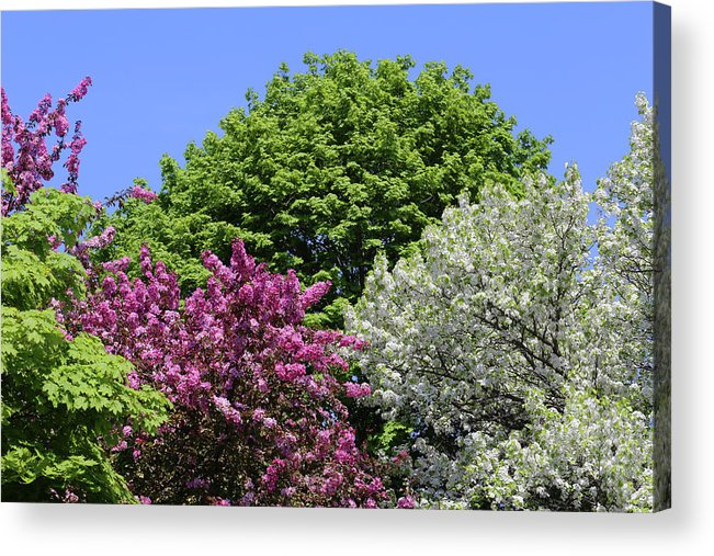 Blooming Trees Acrylic Print featuring the photograph Spring Color 2 051818 by Mary Bedy