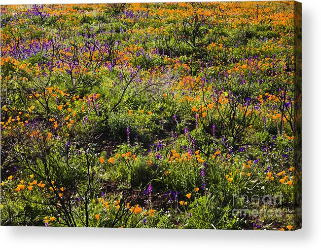 Santa Monica Mountains Acrylic Print featuring the photograph Spring Wildflowers by Greg Clure