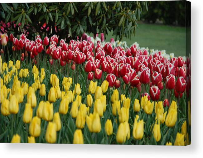 Tulips Acrylic Print featuring the photograph Springtime In Washington by HP Hwang