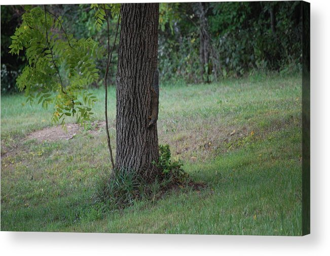Wildlife Acrylic Print featuring the photograph Squirrel On It Way Down From Looking For Walnuts by Richard Botts