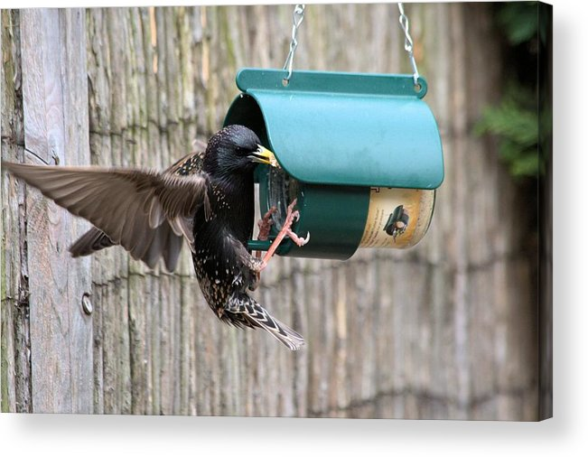 Starling On Bird Feeder Acrylic Print featuring the photograph Starling On Bird Feeder by Gordon Auld