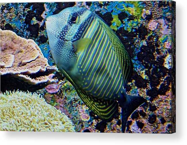 Fish Acrylic Print featuring the photograph Striped Fish by Karen Scovill