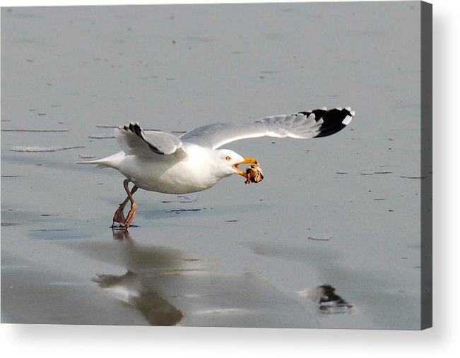 Gull Acrylic Print featuring the photograph Stripped Billed Gull With Shell by Alan Lenk
