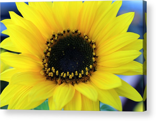 Sunflower Photography Acrylic Print featuring the photograph Sunflower 1 by Evelyn Patrick