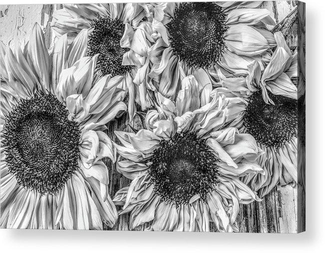 Sunflower Line Drawing : Sunflower bunch line art acrylic print by garry gay