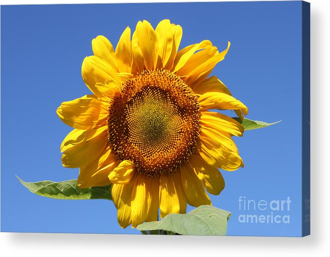 Floral Acrylic Print featuring the photograph Sunflower In Sunshine by Cathy Beharriell