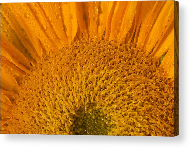 Sunflower Acrylic Print featuring the photograph Sunflower In The Morning Dew by Bernice Williams