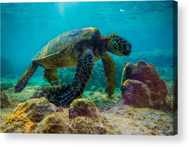 Ocean Acrylic Print featuring the photograph Sunset Honu by JJ Tondo