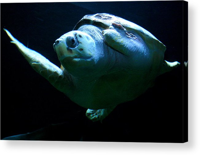 Turtle Acrylic Print featuring the photograph Super Turtle by Aimee Galicia Torres
