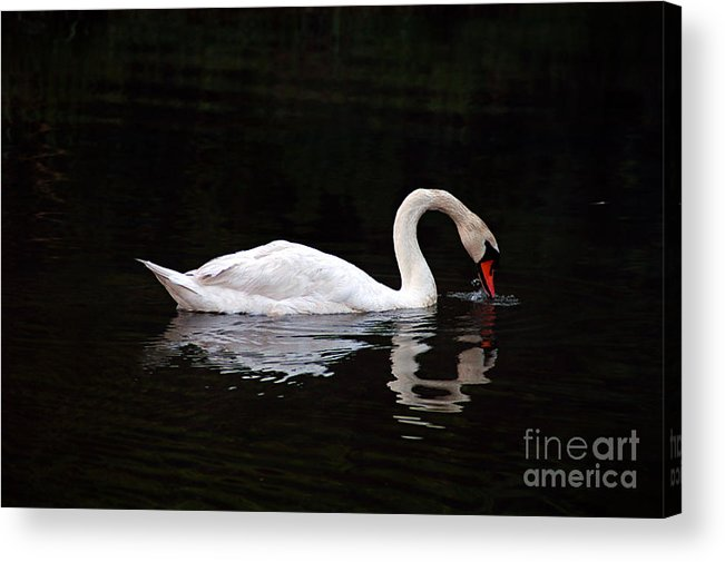 Clay Acrylic Print featuring the photograph Swan Drinking by Clayton Bruster