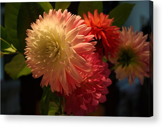 Dahlia Acrylic Print featuring the photograph Sweet Surprise by Annie Babineau