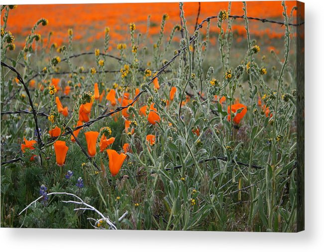 Field Of California Wildflowers Acrylic Print featuring the photograph Tangled Web by Dominique Flavell