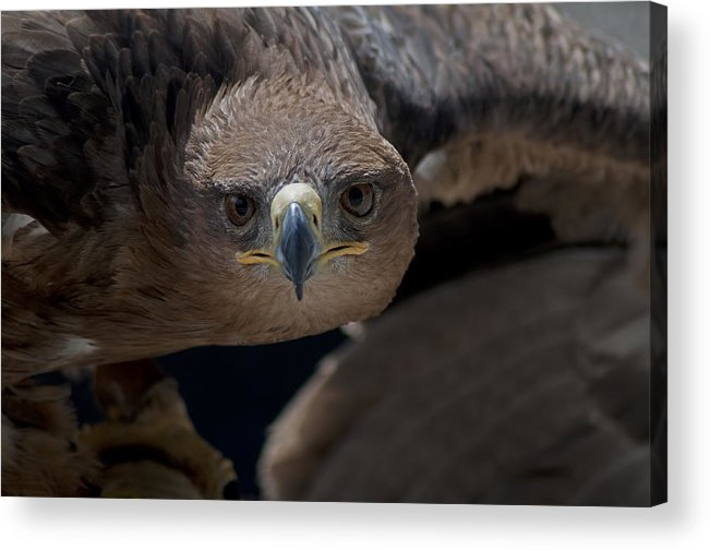300mm Lens Acrylic Print featuring the photograph Tawny Eagle by Matt Steffen