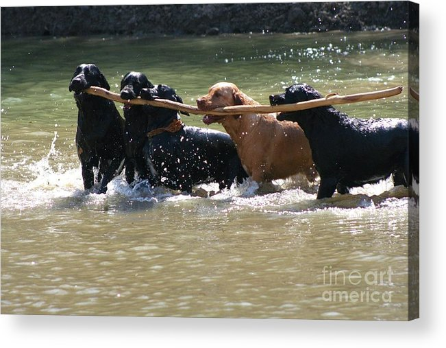 Herd Of Five Working Labrador Retriever Dogs. Hunting Acrylic Print featuring the photograph Teamwork 2 by Shari Morehead