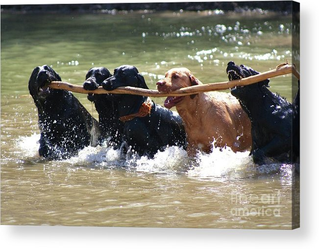 Herd Of Five Working Labrador Retriever Dogs. Hunting Acrylic Print featuring the photograph Teamwork by Shari Morehead