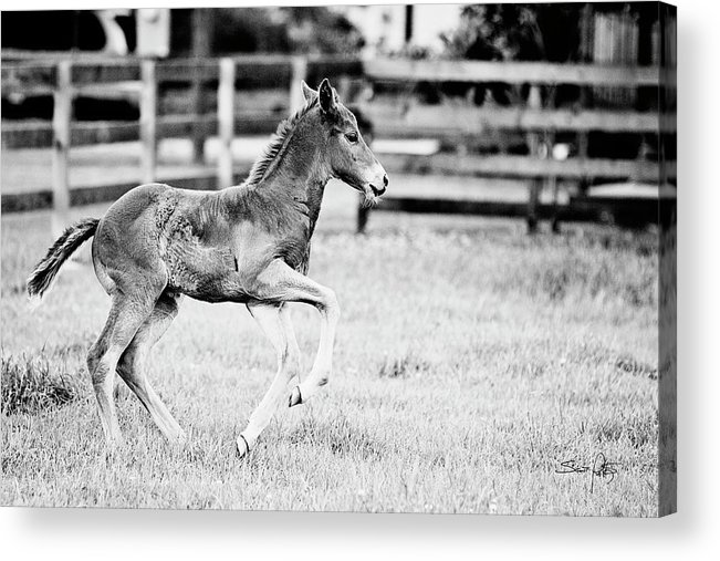 Horse Acrylic Print featuring the photograph Testing The Wheels - Bw by Scott Pellegrin