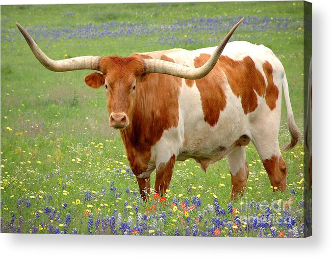 Texas Longhorn In Bluebonnets Acrylic Print featuring the photograph Texas Longhorn Standing In Bluebonnets by Jon Holiday