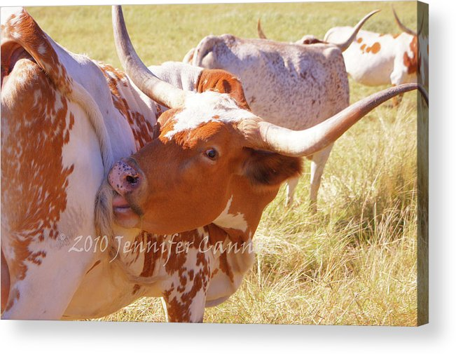 Texas Acrylic Print featuring the photograph Texas Longhorns by Jennifer Cannon