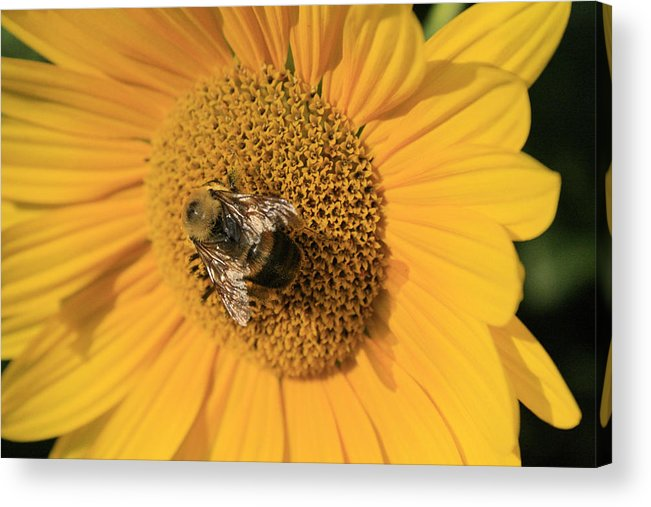 Sunflower Acrylic Print featuring the photograph The Courier by Alan Rutherford