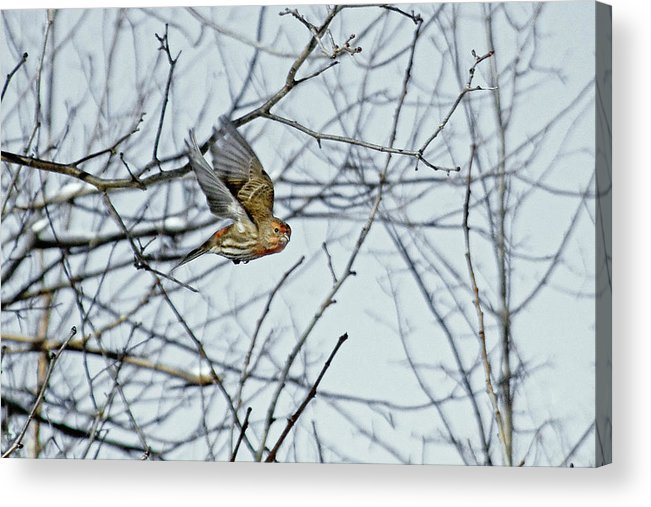 House Finch Acrylic Print featuring the photograph The House Finch In-flight by Asbed Iskedjian