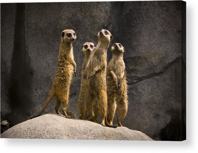 Chad Davis Acrylic Print featuring the photograph The Meerkat Four by Chad Davis