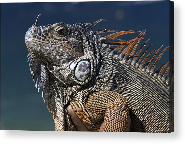 Animal Acrylic Print featuring the photograph The Night Of The Iguana by Carl Purcell