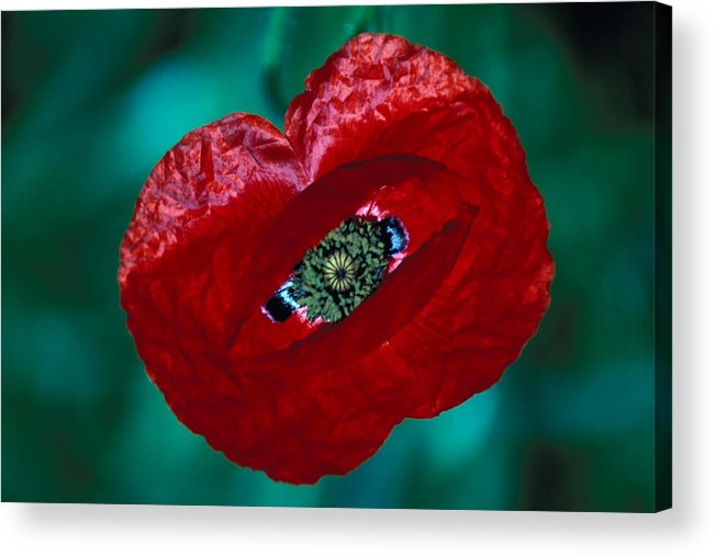 Bright; Red; Green; Brilliant; Flower; Flora; Close-up; Eye; Nature; Opium; Sleep; Death; Hypnotic; Magic; Wizard; Dorothy; France Acrylic Print featuring the photograph The Opiate Of Desire by Carl Purcell