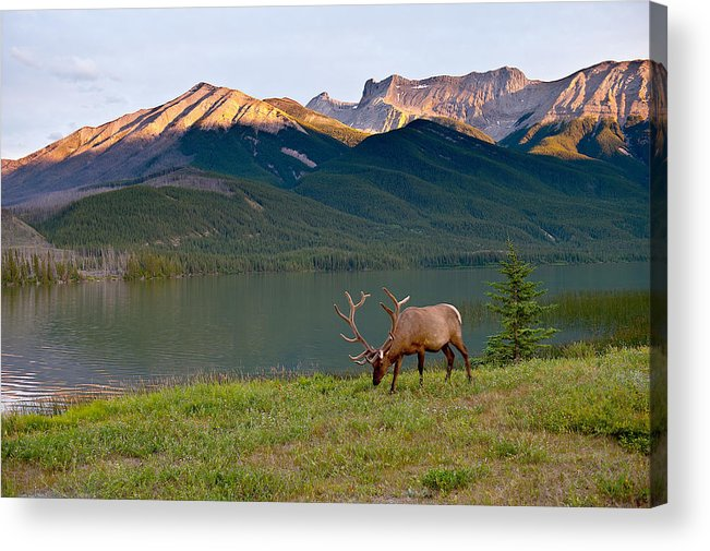 Jasper Acrylic Print featuring the photograph This Is Alberta 10 - Bucks Sunset Snack by Paul W Sharpe Aka Wizard of Wonders
