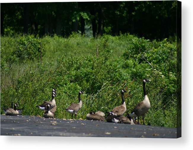 Geese Acrylic Print featuring the photograph Three Heads by Kevin Dunham