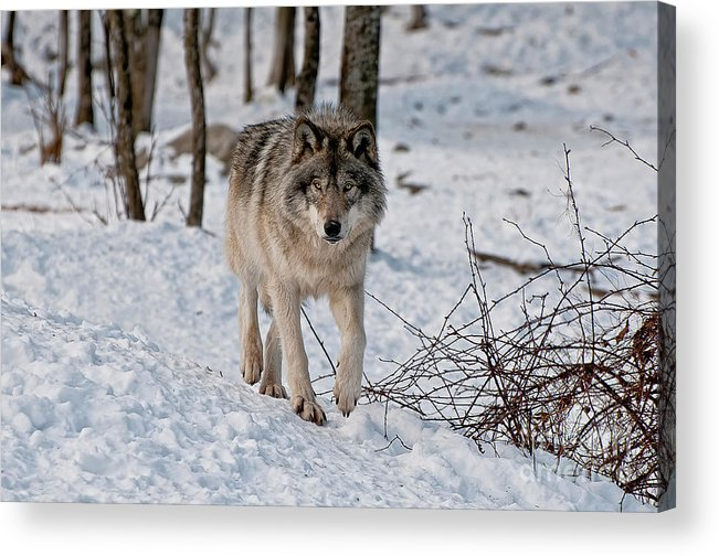 Michael Cummings Acrylic Print featuring the photograph Timber Wolf In Snow by Michael Cummings