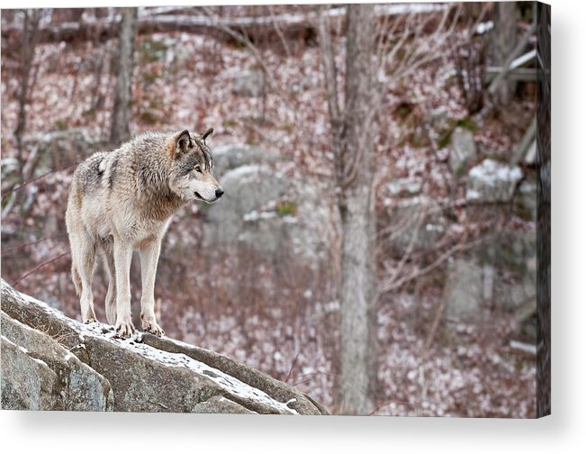 Michael Cummings Acrylic Print featuring the photograph Timber Wolf On Rocks by Michael Cummings