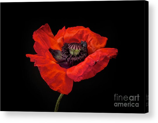 Red Oriental Poppy Acrylic Print featuring the photograph Tiny Dancer Poppy by Toni Chanelle Paisley
