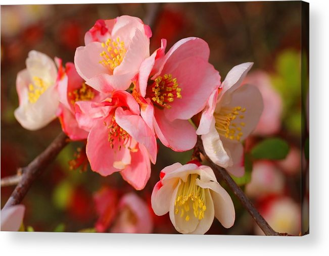 Quince Acrylic Print featuring the photograph Toyo-nishiki Quince Blooms by Kathryn Meyer