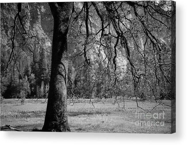 Tree Acrylic Print featuring the photograph Tree Canapy by Sylvia Sanchez