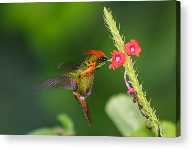 Tufted Coquette Humming Bird Birds Trinidad Tobago Small Humming Bird Island Acrylic Print featuring the photograph Tufted Coquette by Marcus Gonzales