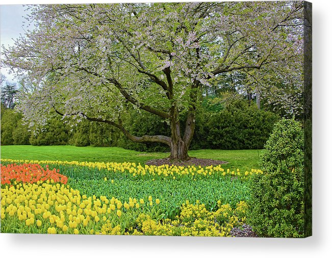 Isabela Cocoli Acrylic Print featuring the photograph Tulips And Cherry Blossom 2 by Isabela and Skender Cocoli