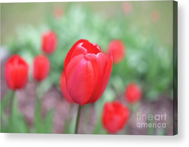 Tulips Acrylic Print featuring the photograph Tulips In Spring 4 by Deborah Brown