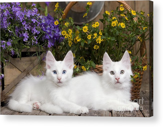 6715d8ae434e0a Cat Acrylic Print featuring the photograph Turkish Angora Kittens by  Jean-Michel Labat