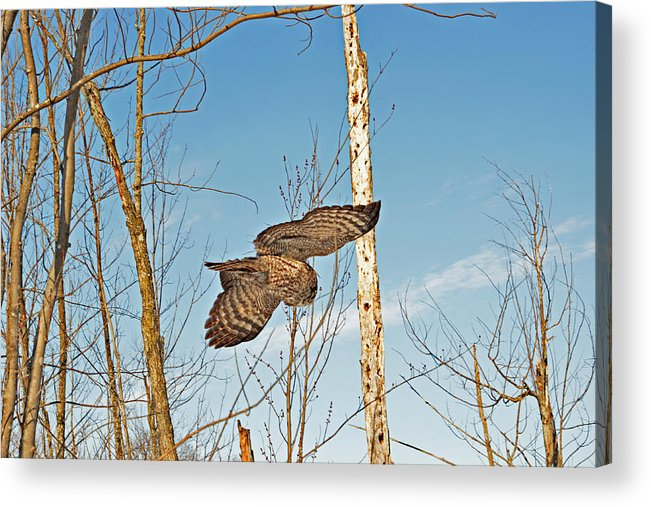 Great Gray Owl Acrylic Print featuring the photograph Turning Left In-flight by Asbed Iskedjian