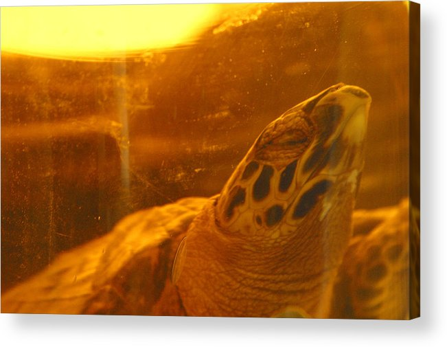 Jez C Self Acrylic Print featuring the photograph Turtled by Jez C Self