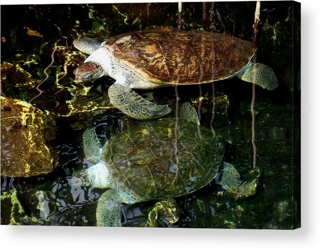 Turtle Acrylic Print featuring the photograph Turtles by Angela Murray