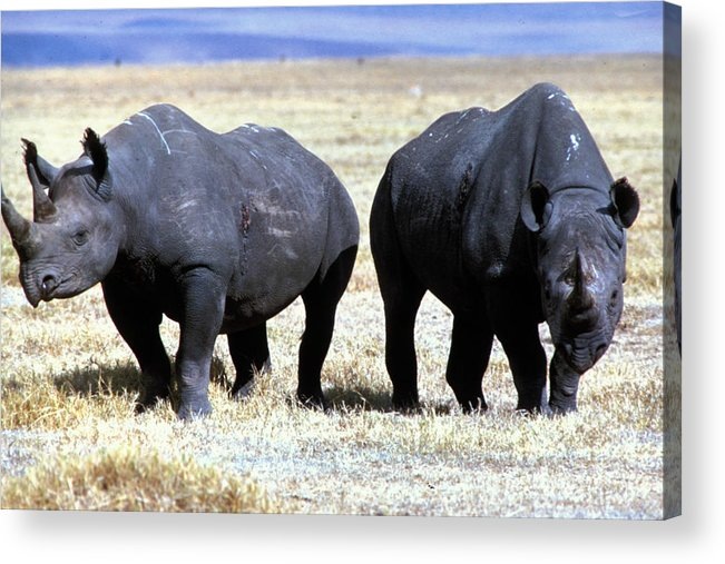 Gray Acrylic Print featuring the photograph Two Rhinos by Carl Purcell
