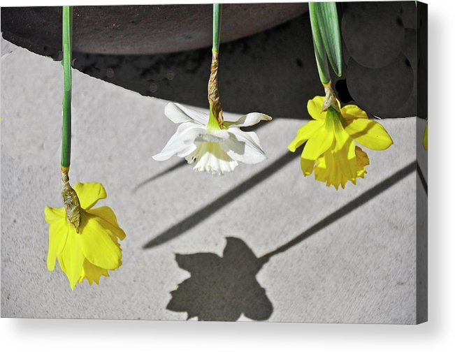 Daffodils Acrylic Print featuring the photograph Upside Down Daffodils by Vijay Sharon Govender