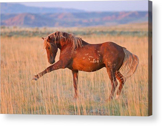 Wild Horse Acrylic Print featuring the photograph War Horse by Sandy Sisti